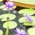 Water Lilies by Porter Glendinning