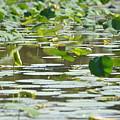 Water Lilies by Tammy Mutka