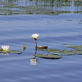 Water Lilies by Tony Murtagh