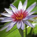 Water Lillies At Waimea I by Elizabeth Hoskinson