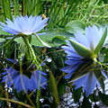 Water Lilies by Donna Blackhall