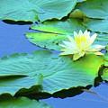 Water Lillies by J Tavarone