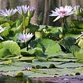Water Lillies by Sean Allen