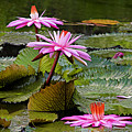 Water Lillies-st Lucia by Chester Williams