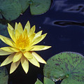 Water Lilly - 1 by Randy Muir