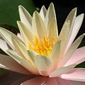Water Lilly 1 by Kristina Jones