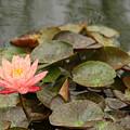Water Lilly In Summer by Rachel Crozier