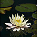 Water Lilly  by Saija  Lehtonen