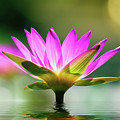 Water Lilly by TJ Baccari