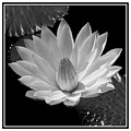 Water Lilly by William Haney