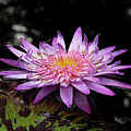 Water Lily 1 by Denise Winship