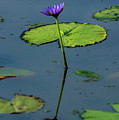 Water Lily 2 by Buddy Scott