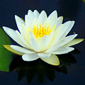 Water Lily 2 by Lisa Scott