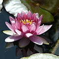 Water Lily 2 by Valerie Ornstein