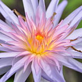 Water Lily  20 by Allen Beatty
