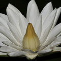 Water Lily 23 by Terri Winkler