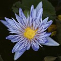 Water Lily 3 by Robert Ullmann