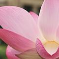 water lily 32 Pink Lotus Macro by Terri Winkler