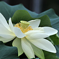 water lily 34 Yellow Lotus I by Terri Winkler