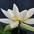 Water Lily 36 by Terri Winkler