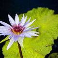 Water Lily #4 by Chris Coffee