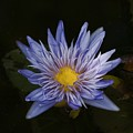 Water Lily 4 by Robert Ullmann