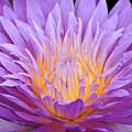 water lily 55 Ultraviolet by Terri Winkler