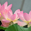 water lily 57 Pink Lotus by Terri Winkler