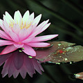 water lily 92 Sunny Pink Water Lily with Lily Pad by Terri Winkler