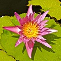 Water Lily After Rain 3 by Joe Wyman