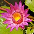 Water Lily After Rain 4 by Joe Wyman