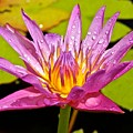 Water Lily After Rain by Joe Wyman