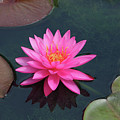 Water Lily - Afternoon Delight by Pamela Critchlow