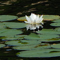 Water Lily by Amanda Holt