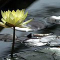 Water Lily And Silver Leaves by Dubi Roman