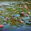Water Lily Ballet by Cindy Rose