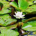 Water Lily by Bill Cannon