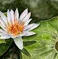 Water Lily by Brenda Owen
