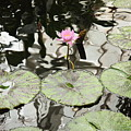 Water Lily Canvas by Carol Groenen