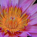 Water Lily by DJ Florek