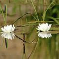 Water Lily Duet by Debbie Oppermann