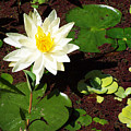 Water Lily From Private Garden by Patricia Motley