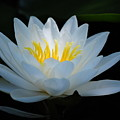 Water Lily Glow by Janis Knight