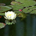 Water Lily by Heather Coen