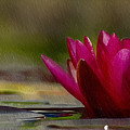 Water Lily - Id 16235-220248-4550 by S Lurk