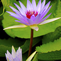 Water Lily In A Tropical Garden_4657 by Olivia Novak