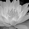 Water Lily In Black And White by Janine Moss
