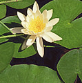 Water Lily I V by Jim Smith