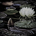 Water Lily Iv by Marta Grabska-Press