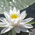 Water Lily by Jack R Perry
